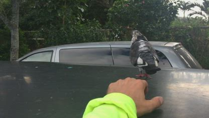A VERY close call with SQUEAKER, a crazy homeless guy's pet pigeon. WICKED DUDE!