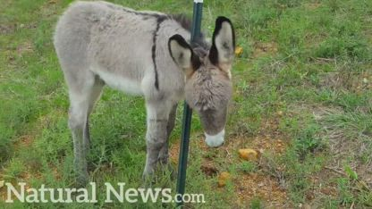 Our baby donkey Hosanna is doing great! (Health Ranger ranch)