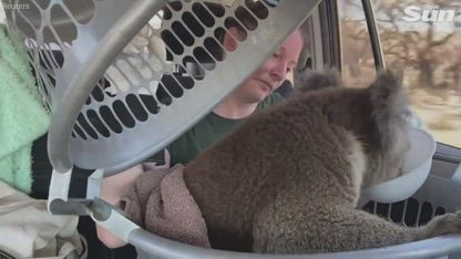 Koala rescue - Team deployed to save animals from horrors of Australia bushfires