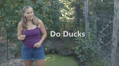 Do ducks like duckweed?