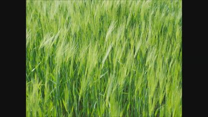 The Parable of the Wheat and Tares