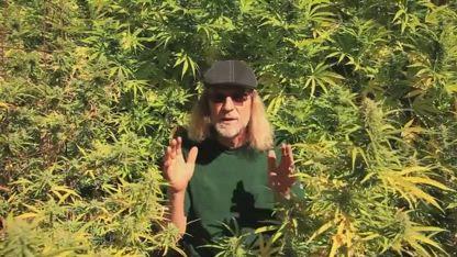 Harvesting SOUR DIESEL & GREEN CRACK (Harvesting Cannabis Part 4)